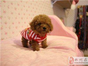 出售大毛量微小体泰迪个子非常小哟 绝对的精品狗