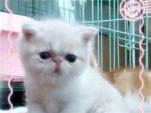 亞洲頂級血統CFA注冊加菲貓,低價出售