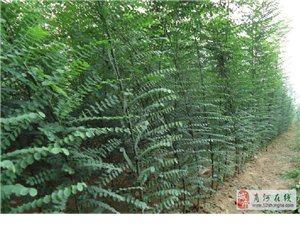 扒牯李柿子园林木销售