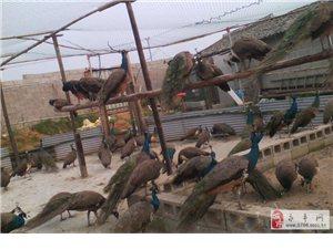 出售食用蓝孔雀