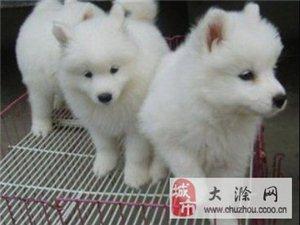 成都市萨摩耶犬多少钱一只