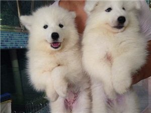 萨摩幼犬出售,骨量品相自己看