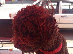 泰迪咖啡色公狗丢失时身上带有红色绳索,十斤左右