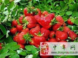 大量銷售草莓苗