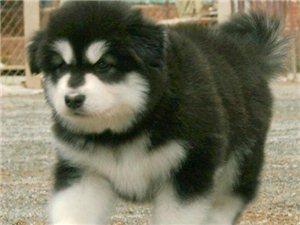 南京一只阿拉斯加犬要多少錢