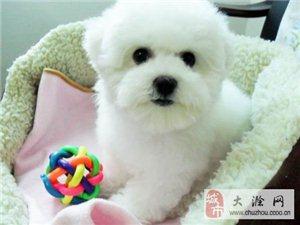 南京一只比熊犬要多少錢
