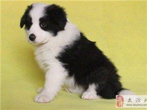 南京一只边境牧羊犬要多少钱