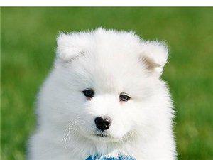 南京一只薩摩耶犬要多少錢