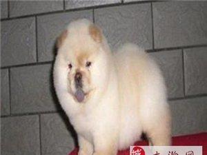 南京哪里可以買到松獅犬