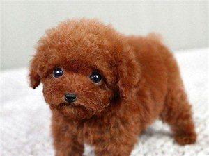 南京一只泰迪熊犬要多少錢