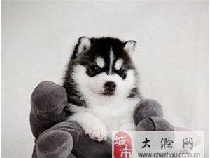 南京哪里可以买到哈士奇小狗
