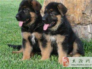 南京德國牧羊犬德國牧羊犬狗多少錢