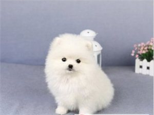 南京哪里有寵物店博美犬價格好多