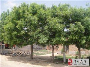 潢川苗木價格金絲柳樹,鵝掌楸樹,合歡,水杉,馬褂木