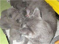 自己繁殖的蓝猫幼崽
