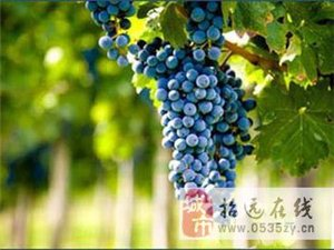 大量批发酿酒专用葡萄