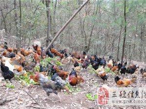 出售100%喂食玉米的散養土雞