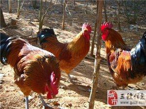 長吉鄉正宗土雞(100%喂包谷、谷子)