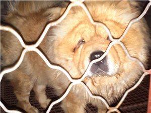 出售成年母松狮,小肉嘴,黄的,有喜欢的欢迎到实地看