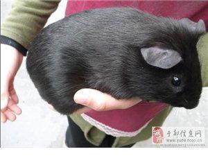 可愛寵物豚鼠