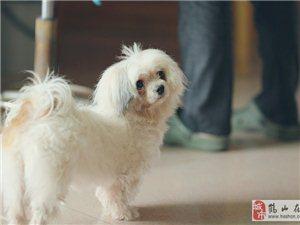 家里孕婦對狗過敏,急找好心人收留一只成年西施狗