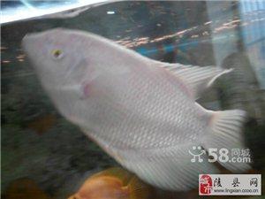 出售一条招财鱼