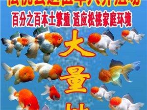 松桃县退伍军人养殖场长期批发金鱼