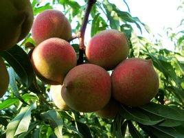 青州蜜桃產地蜜桃大量上市