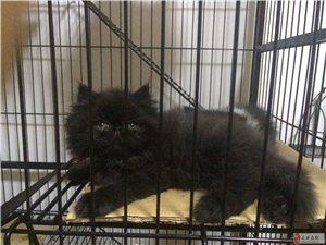 出售2月大小貓