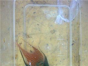 出售斗魚普叉藍叉