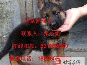 出售纯种的德牧幼犬宝宝,非常帅品相好纯种健康