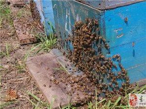 出售純蜂蜜新鮮蜂王漿
