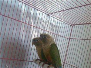 出售各類小太陽鸚鵡,種鳥,雛鳥都有。。