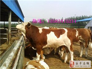 河南肉牛種苗價格