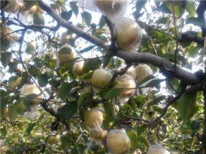砀山酥梨大量出售
