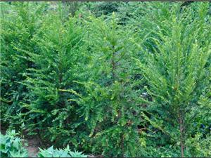 大量出售4年生红豆杉、15年生桂花树