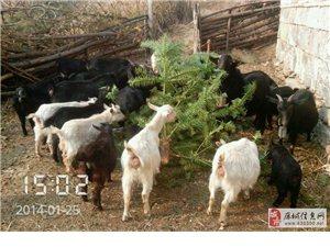 放养山羊出售