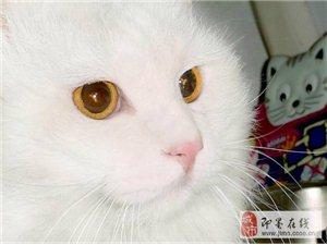 九个月临清狮子猫转让 因个人原因不能养了