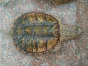 佛鳄龟来自美国佛罗里达
