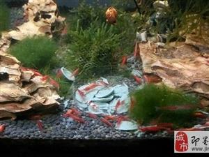 己井水繁殖的极火虾