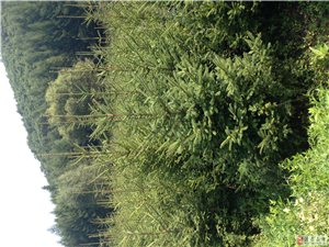 出售2.5米−−3.5米云杉4000颗+