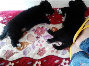 两只黑色小狗胸前有白色