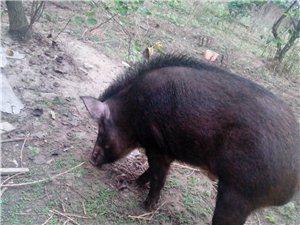 出售純種野豬、野種豬、野豬仔