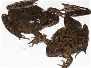 收购林蛙,林蛙回收,林蛙求购