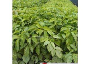 出售重陽樹苗