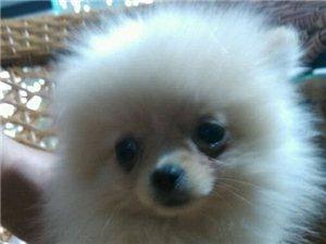 卖博美一只。小型狗。老实听话。