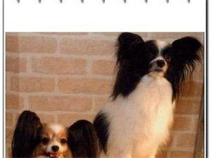 纯种蝴蝶犬出售成犬幼犬