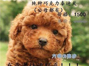 纯种巧克力泰迪犬出售公母都有