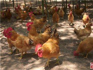 江夏生態園土雞/土雞蛋紅頭鵝鴨/土黑豬豐收啦歡迎您