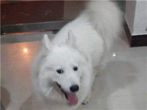 本人在10月27号早上在水谢花都丢失了一条宠物狗
